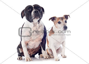 staffordshire bull terrier and jack russel terrier