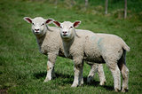 Twin lambs standing side by side in a field