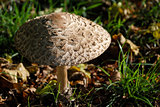 Texture of a shaggy parasol mushroom cap