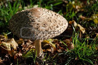 Texture of a shaggy parasol mushroom cap