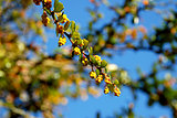 Yellow berberis flower buds in the sun