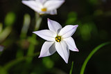 Closeup of a spring starflower