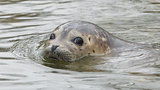 Grey seal swimming