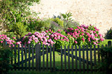 Hydrangeas Behind a Wooden Gate