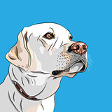 vector white dog breed Labrador Retriever
