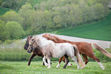 Farm ponies running free in field