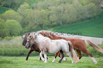 Farm ponies running free in field