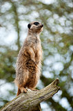 Meerkat lookout on tree branch