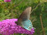 Pipevine Swallowtail Butterfly On A Lilac Butterfly Bush