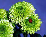 Green Mums and Ladybug