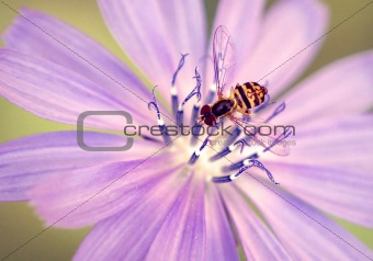 Syrphid Fly (Toxomerus)