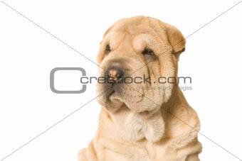Adorable Sharpei Puppy
