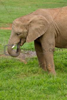 African elephant portrait