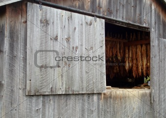 Tobacco Drying in Old Barn