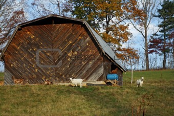 Old Barn And goats On Hill
