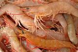 Live shrimp