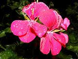 beautiful pink flower with water drops macro closeup