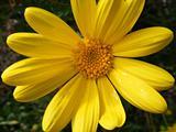 beautiful yellow daisy macro closeup