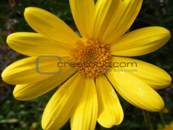 beautiful yellow daisy macro closeup