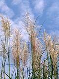 Wild Grain Stalks