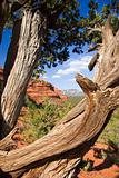 Gnarled tree in Sedona