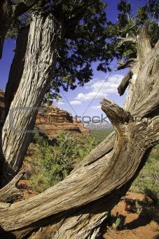 Gnarled tree in Sedona