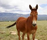 Colorado pony in pasture