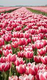tulip field 12