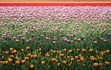 tulip field 15
