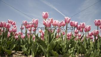 tulip field 19