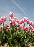 tulip field 20