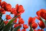 tulip field 26