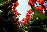 tulip field 27