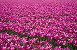 tulip field 28