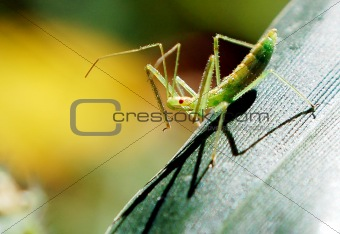 Assassin Bug (Zelus Luridus)