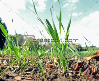 Green wheat shoots