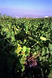 Red grapes and vine view