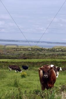 cattle heaven iv