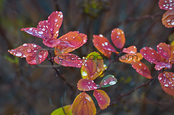 Autumn leaves with raindrops