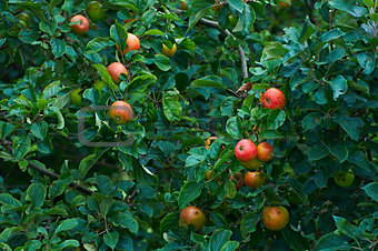 Ripe apples on apple trees