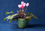 Pink cyclamen flowers in the pot