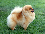 The Pomeranian dog