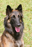 Belgian Shepherd Dog in the garden