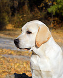 yellow labrador puppy in autumn park