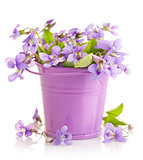 spring flower violets with leaf in little bucket