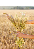 Ripe ears wheat in woman hands. Concept of abundance
