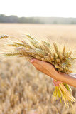 Ripe ears wheat in woman hands