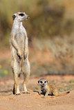 Meerkat with baby