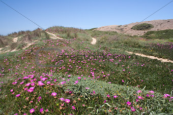 Wild flowers on Cordama Beach, Algarve, Portugal