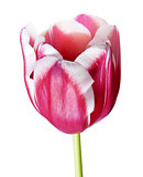 Petals of pink tulip
